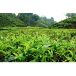 Tea Plantation Tour in Wayanad