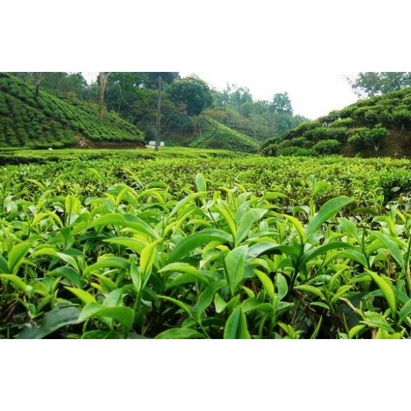 Tea Garden and Lagoon Trip, Kerala 4N/5D