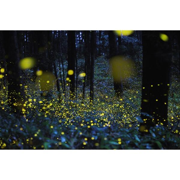 Fireflies Festival @ Girivan