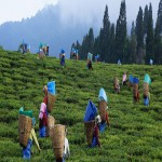 Tea Tasting Tour to Manas 4N/5D