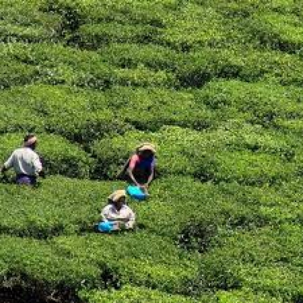 Tea Estates Walking Tour In Munnar