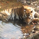 Tadoba Tour From Nagpur 2N/3D
